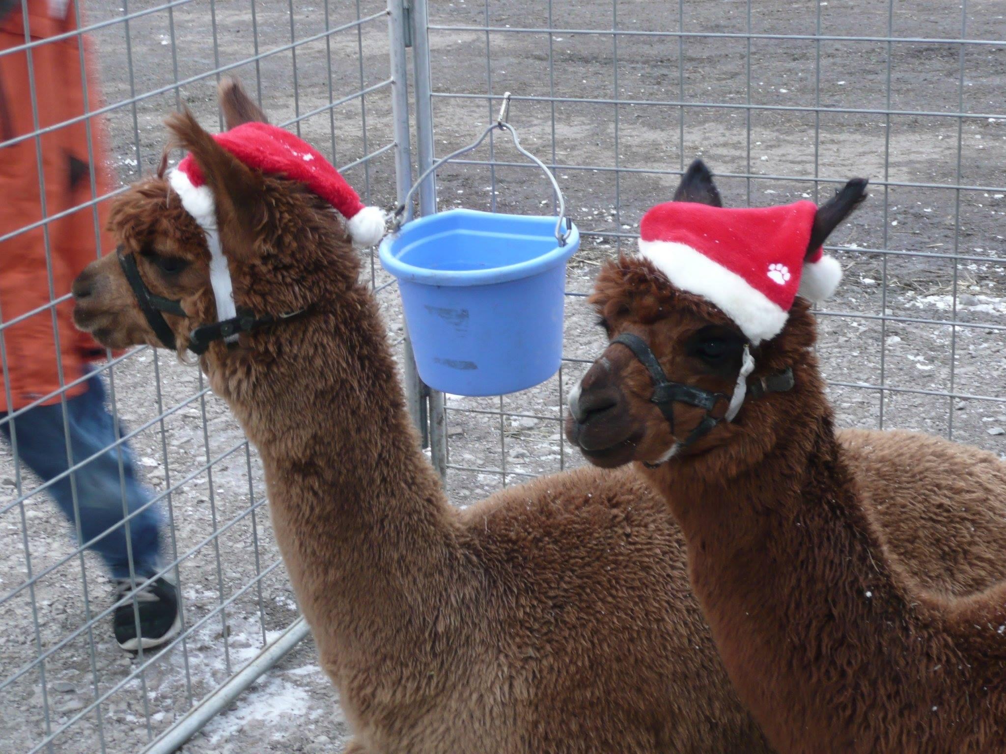 alpacas1.jpg