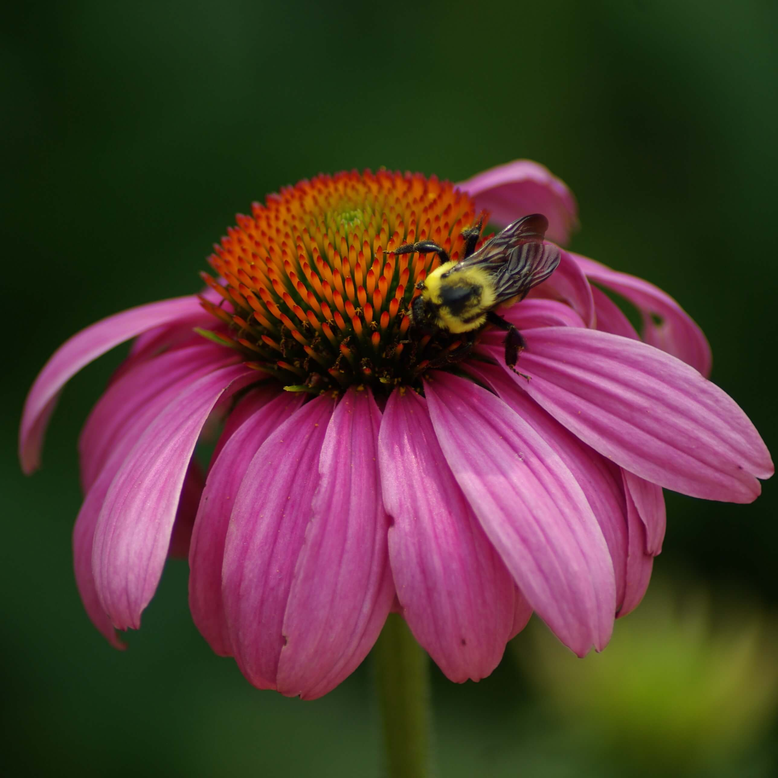 Engaging Echinacea