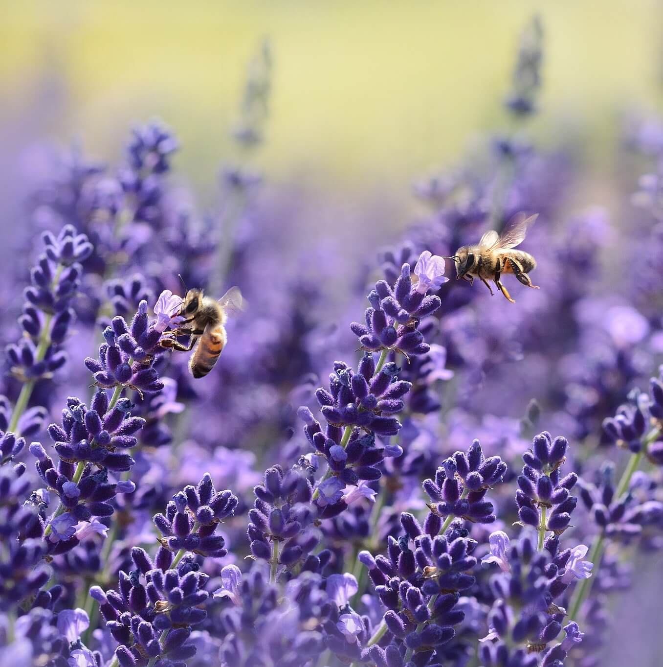 Summer Skin Saver: Lavender