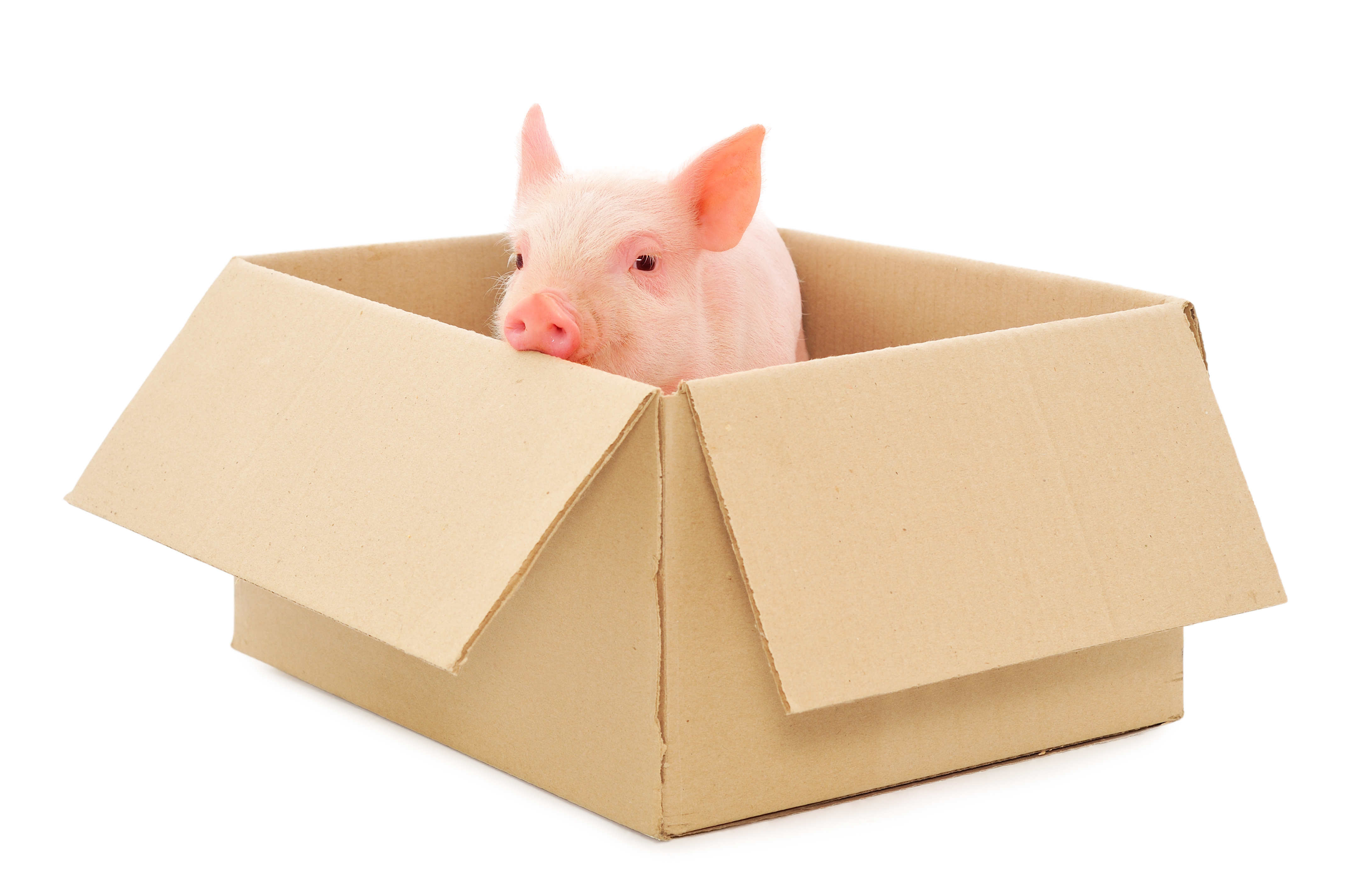 Pig in Box
