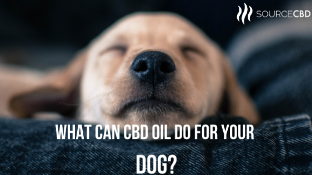 What Can CBD Oil Do for Your Dog?