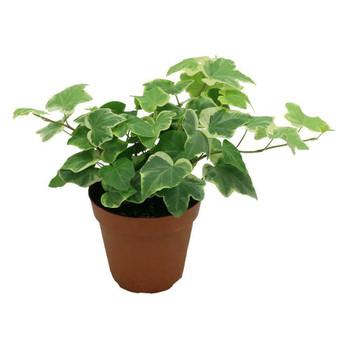 Hedera Foliage Small