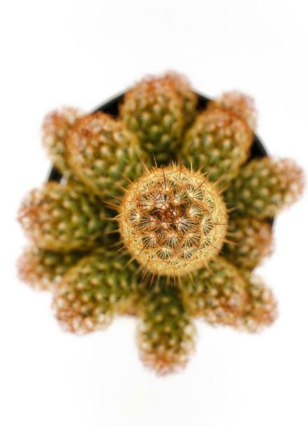 4oz Mammillaria Elongata Copper King