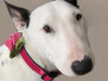 Rosie pink velvet dog collar by diva-dog.com