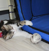 Kittens love our wool ping pongs. Just the right size and super bouncy-- just like them!