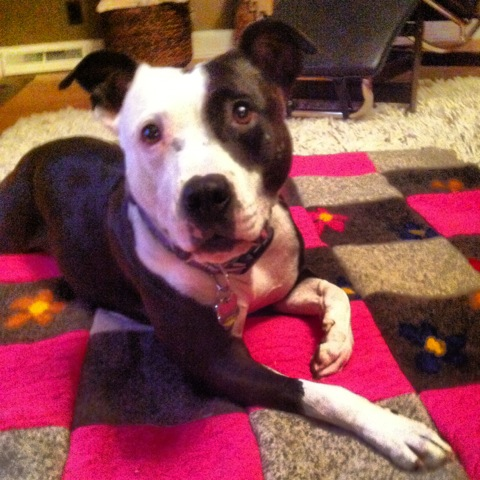 black and white dog on hot pink wool pet blanket