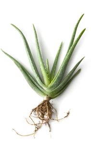 drnatura-colon-cleanser-herbs-aloe-1-.png