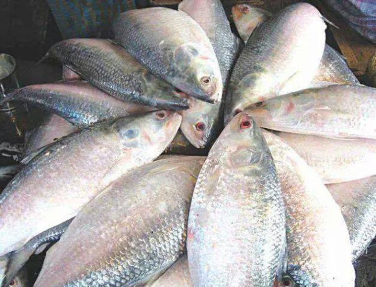 Hilsa Whole Medium 3 Lbs (2.5 to 3.5 Lbs size  fish) Chandpuri