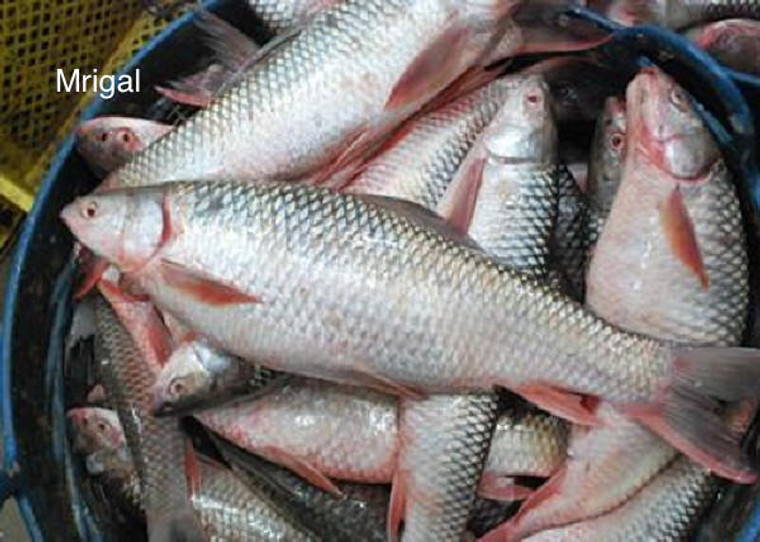 Mrigal Fish Whole 7 Lbs (5 to 7 Lbs size fish)