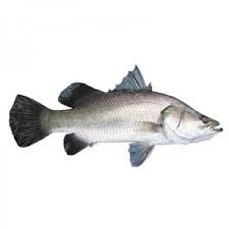 Bhetki/ Koral Whole Large (5.0 Lb Plus)