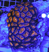 Acan Coral Colony Lrg Acanthastrea Red Blue
