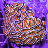 Acan Coral Colony Lrg Acanthastrea Red Blue 2