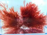 Best Ogo Macro Algae Saltwater Plants Marine Live Fish Food copepods Amphipods