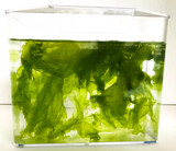 Sea Lettuce Macro Algae. Start a Colony of Live Copepods and Amphipods to feed seahorses and Mandarin Fish with saltwater Sea Lettuce algae.