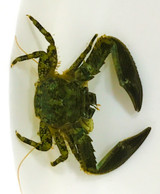 Porcelain Crab Green Porcelain for sale. Buy Porcelain crabs at the best prices. Great addition to the clean up crew
