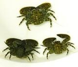 Buy Porcelain crab Maiting Porcelain crabs. Aquacultured. Reef safe Crabsand inverts for sale.