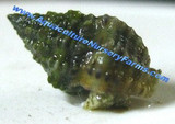 Nassarius Snails for Sale. Buy saltwater snails clean up crew for sale.