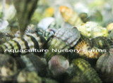 Large quantities of Cerith snails for sale. Buy Cerith snails for aquarium tank and refugium maintenance. Control unwanted algae and hair algae problems with these unique snails.