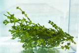 Buy Halimeda Macroalgae for sale Free Shipping. Home for copepods and Amphipods. Saltwater plants aquarium reef tank live rock