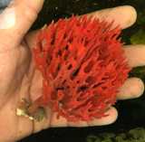 Red dragon fire sponge for sale. Red Beard Sponge, Clathria prolifera.