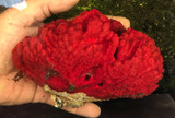 Live marine saltwater Sponges for sale fire engine red.