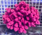 Purple Tube sponge for sale. Live sea sponges at the best prices on line. Rare strawberry sponge.