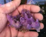 Purple Sea Goddes Sponges whole pieces not frags for sale.