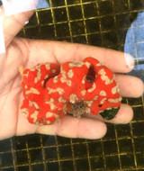 Saltwater sponge for sale. Rare specimens available. Get Superman sponge for reef tank aquariums.