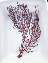 Sea Fan Purple for Sale. Gorgonian Fan.