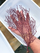 Large Sea Fan for sale. For Saltwater aquariums and reef tanks. Fish tanks.