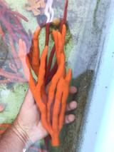 Orange Tree Sponge L