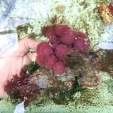 Strawberry Tunicate Coral Macro Combo