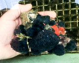 Tunicate coral  colony