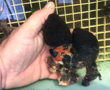 Saltwater corals Tunicates for Sale