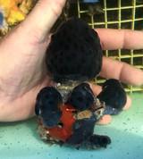 Black Hole Tuni Coral L