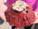 Red planet Bryozoan whole colony for sale.