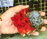 Live sea sponge for saltwater reef tank aquariums.