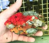 Side view of sea sponge growing on live rock specimen for sale.