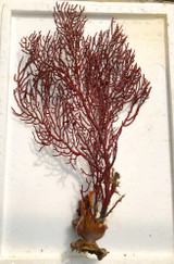 Red Sea Fan XXL
