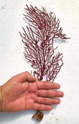 Red Live Sea Fans for Sale. Live Coral for Sale.