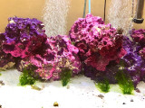 Lettuce algae growing attached on rock frag in reef tank aquarium.