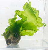 Lettuce Macro Algae for Sale. Rock frag for sale.