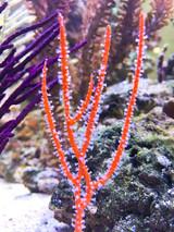 Rare specimen orange sea whip with white polyps feeding.