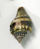 Crown Conch snails for sale. Live saltwater snails available for aquariums.