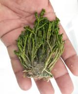 Tufted Joint Algae Macro algae for sale. Buy Macro algae and saltwater plants for sale.