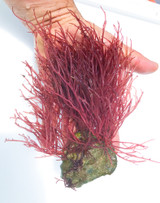 Most variety of saltwater plants for sale. Burning Bush Macro Algae.