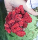 Velvet Red Branching Sea sponge