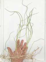sea Grass Jumbo live grass for sale to plant in saltwater aquariums and reef tanks.