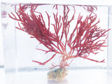 Gracilaria Red Macro algae for sale. Buy Macro algae to provide a habitat for Peppermint shrimp, Amphipods, and Copepods.