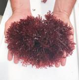 Fire Ball Dragons Tongue Macro Algae for Sale.